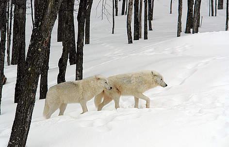 Snow Wolf`S Diet