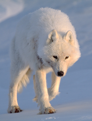 Arctic wolf (Canis lupus arctos) / ©: Staffan Widstrand