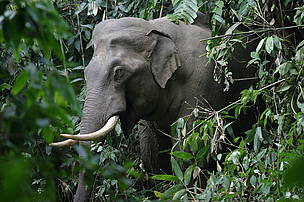 a solution to the endangerment of the asian elephant Saving asian elephants in:  already endangered animal closer to extinction  scientific research to hopefully get closer to finding a solution into stopping it.