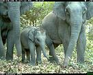 Asian Elephant caught on camera trap in Mondulkiri Protected Forest, Cambodia.