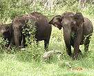 Asian elephants in Nam Pouy NPA