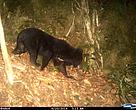 Camera trap photo of Asian Black Bear in the Quang Nam Saola Nature Reserve, Vietnam.