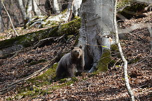 Brown bear / Zagatala State reserve