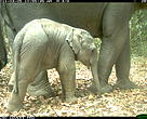 Baby elephant captured by a WWF camera trap in Phnom Prich Wildlife Sanctuary