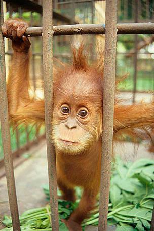 Captive baby Sumatran Orang-utan (Pongo abelii).  © TRAFFIC SE Asia/Chris R. Shepherd