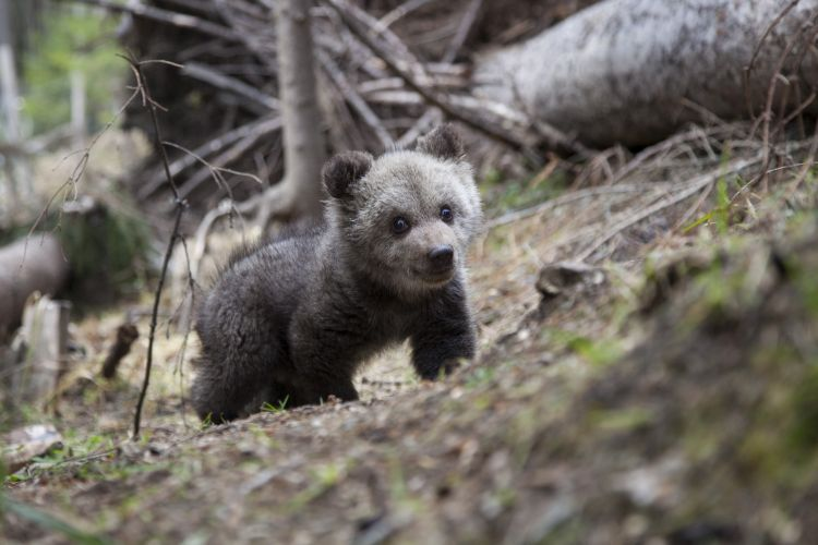 WWF-Romania Campaigns against Bear Hunting