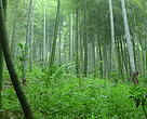 bamboo plantations under local cooperative's intensive management, Anji, China