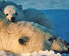 A polar bear (Ursus maritimus) and her cub.