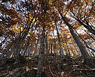 Beech (Fagus sp) forest in autumn, Piatra Craiului National Park, Transylvania, Southern Carpathian Mountains, Romania.