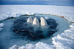 Beluga whales trapped at ice hole (Delphinapterus leucas) too far away to reach open sea, Canadian High Arctic