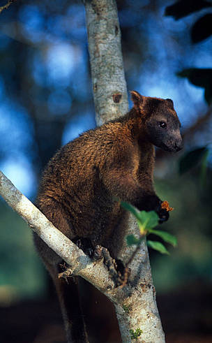 Bennett's tree-kangaroo (Dendrolagus bennettianus) on the branch of a tree. The Bennett's ...  	© Martin HARVEY / WWF