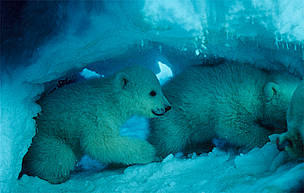 Den And The Art Of Polar Bear Research Wwf