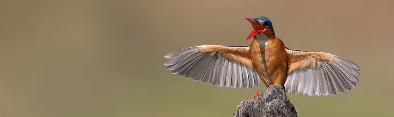 Malachite kingfisher in Selous, Tanzania  	© Michael Poliza / WWF
