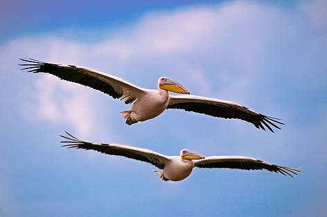 White Pelican (Pelecanus onocrotalus), pair flying in formation. Lake Nakuru National Park, Kenya. ... rel=
