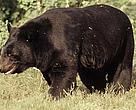 Asiatic black bear (<i>Ursus thibetanus</i>), India.