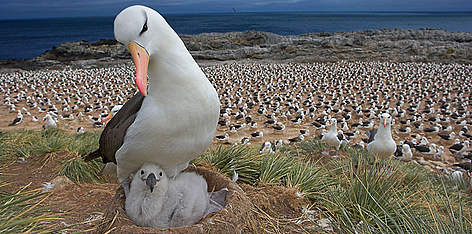 Black-browed albatross (Diomedea / Thalassarche melanophrys) with chick on nest, part of a large ... rel=
