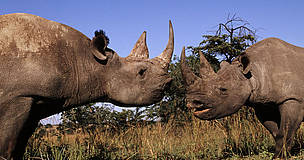 Black rhinoceros (Diceros bicornis) - Two males fighting.