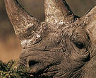 Black rhino eating leaves