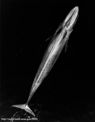 Adult blue whale  	© NOAA
