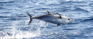 A juvenile bluefin tuna jumping from the water in the Mediterranean Sea.