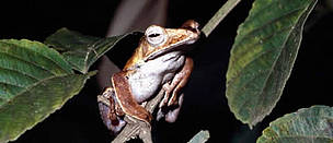 Bongon whipping frog. East Sabah. Borneo. Malaysia. / ©: WWF-Canon / Gerald S. CUBITT