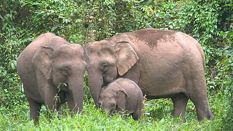 Bornean Pygmy elephant (Elephas maximus borneensis) family, parents with calf. Danum Valley ... rel=