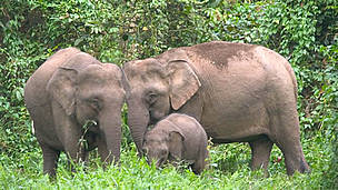 Bornean Pygmy elephant (Elephas maximus borneensis) family, parents with calf. Danum Valley ... / ©: WWF-Canon / A. Christy WILLIAMS