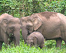 Bornean Pygmy elephant (Elephas maximus borneensis) family, parents with calf. Danum Valley Conservation Area, Sabah, North Borneo, Malaysia.