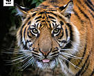 Tigers are under threat from Asian infrastructure projects.