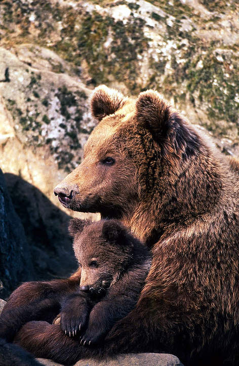 Brown bear (<i>Ursus arctos</i>) female embracing and taking care of one of her cubs. rel=