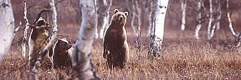 The endangered brown bear (<i>Ursusarctos</i>) is found around the Prespa basin rel=