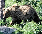 Brown bear (Ursus arctos); Finland