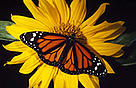 Monarch butterflies migrate each year from Canada to Mexico.
