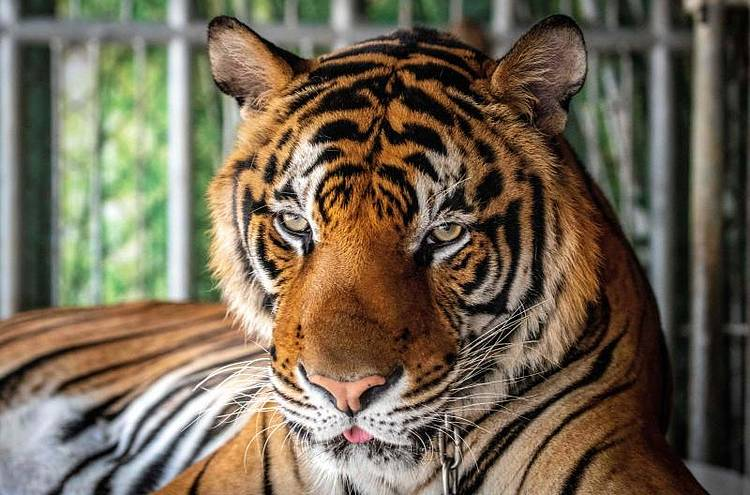 Tiger industry continues to profit