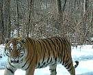 Russia's Far East is home to 95 per cent of the global population of Amur tigers, the largest subspecies of tiger.