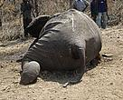 One of hundreds of elephants killed in a single incident in Northern Cameroon