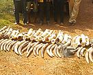 Ivory tusks seized in cocoa shipment