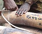 Official measures an ivory tusk as part of a stockpile audit in Central African Republic.