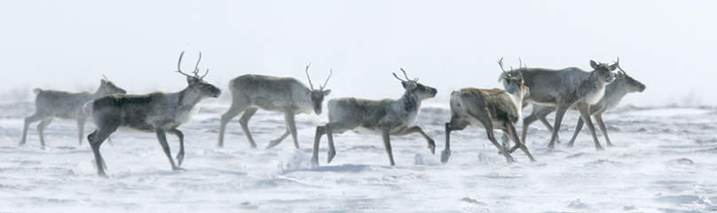 Barren-ground caribou (Rangifer tarandus).  	© Peter EWINS / WWF-Canada