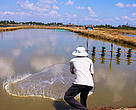 Using a cast-net to harvest shrimp at Mr. Au Thanh Hung's farm, Thuan Thanh farmer group, Soc Trang province.