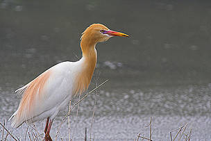 A Cattle Egred