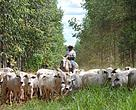 Cattle with rancher in the Cerrado