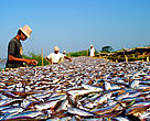 Small, migratory food fish on drying racks on the shores of the Tonle Sap River, Cambodia