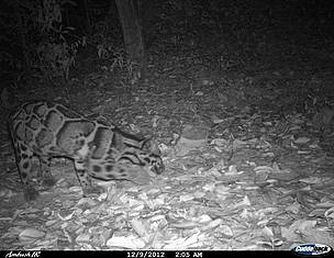 Clouded leopard captured during camera trapping conducted by a researcher from Wildlife ...  	© WildCru / WWF-Cambodia