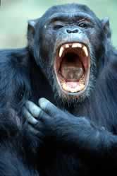 Chimpanzee (<i>Pan troglodytes</i>) yawning, aggressive display. / ©: WWF / Michel GUNTHER