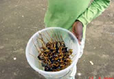 Delicacy! Fried snails sell well on the streets of the area. / ©: WWF / WWF-CARPO / Peter Ngea
