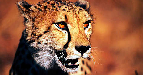 Cheetah (<i>Acinonyx jubatus</i>), Republic Of South Africa. rel=