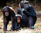 Chimpanzees are among the important species inhabiting the Guinean Moist Forests of Ghana.
