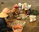 The Ben Tre clam fishery in Vietnam has received Marine Stewardship Council (MSC) certification.