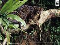 Bornean clouded leopard (neofelis diardi) in a tree, Kalimantan (Indonesian Borneo), Indonesia. / ©: Alain Compost / WWF